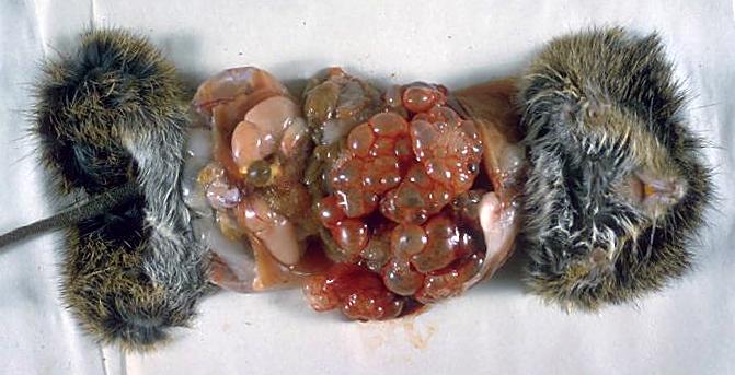 _Echinococcus_multilocularisega nakatunud hiir_3MG0020_lores