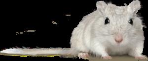 animal-detail-gerbil