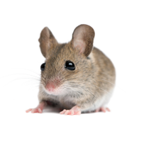 rat_mouse_PNG2466