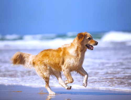 Retriever by the Sea